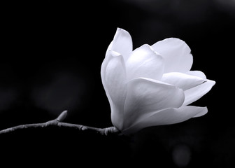 B&W image of a magnolia flower.