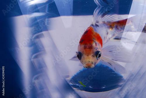 Poisson rouge derri re sa vitre d 39 aquarium photo libre for Tarif poisson rouge