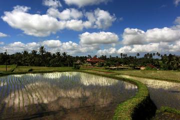 Serene rice fields