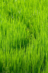 Curves in rice fields