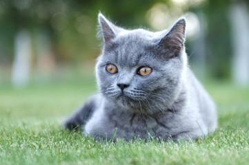 Gray British cat. Shorhair