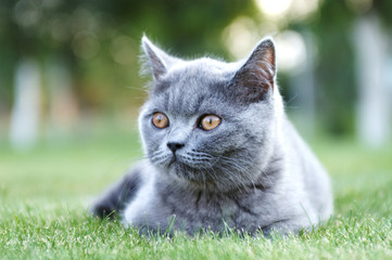 Gray British cat. Shorhair. Soft blurred background