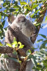 Koalabär Portrait