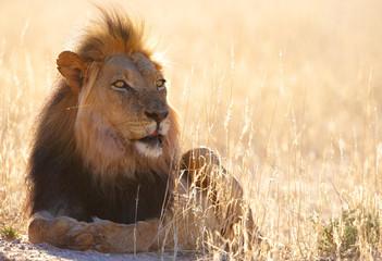 Lion (panthera leo) in savannah