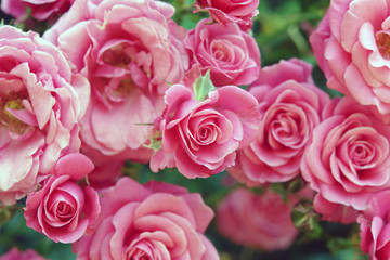 Kletterrosen Rosa