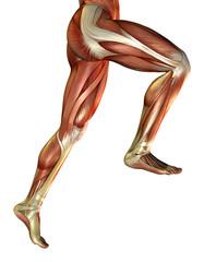 Beinmuskulatur vom Mann