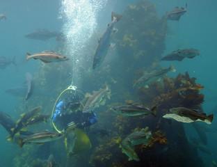 Diver feeding fish, Atlantic Sea Park, Norway
