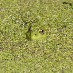 frosch im grün