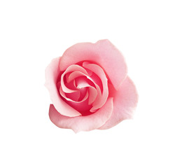 Bright Pink Rose. Isolated on white background