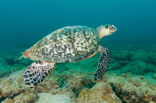 Hawksbill Sea Turtle-Eretmochelys imbriocota on a reef.