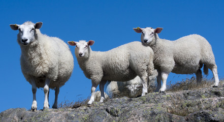 Sheeps on the rock