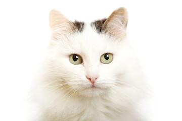 Cat--turkish van breed