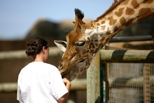 soigneuse de girafes