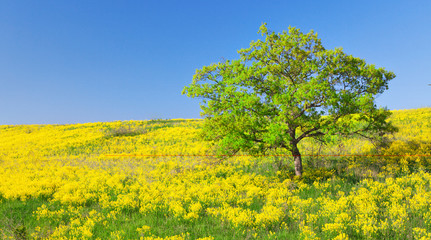 fiueld of yellow flowers and green tree