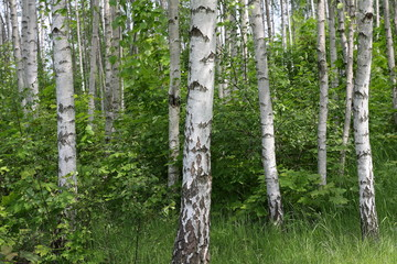 Spoed Foto op Canvas Berkbosje las brzozowy