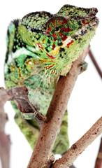 caméléon de la Réunion, chamaeleo pardalis, fond blanc