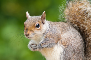 Grey Squirrel close-up portrait