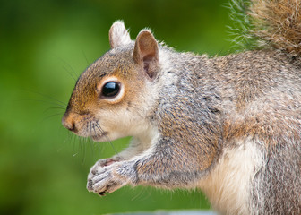 Grey Squirrel close-up