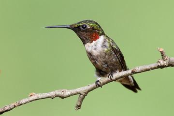 Fotoväggar - Ruby-throated Hummingbird (archilochus colubris)
