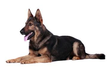 Liegender Schäferhund