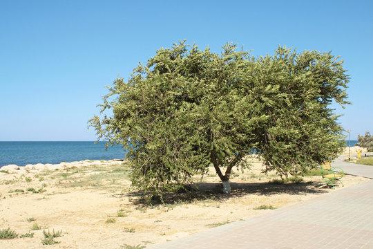 Elm tree.