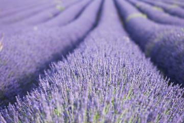 Printed roller blinds Lavender champs de lavande