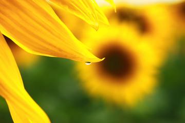 sunflower. close-up
