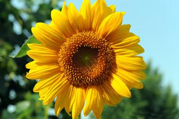 girasole fiori 615