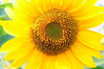 girasole fiori 617