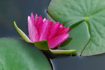 ninfea fiori 640
