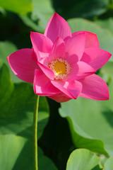 fior di loto fiori 706
