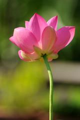 fior di loto fiori 711
