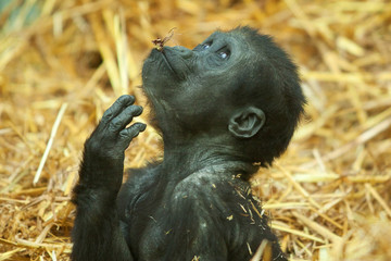baby gorilla looking 8010