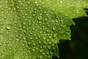 Tautropfen auf grünem Blatt
