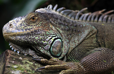 Carribean Iguana