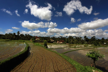 Serene Rice fields in Indonesia