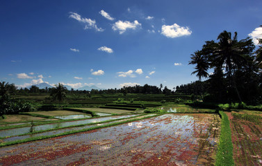 Rice fields in Java