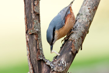 Nuthatch with Grub in Bill on Rotten Branch