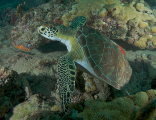 Green Sea Turtle-Chelonia mydas