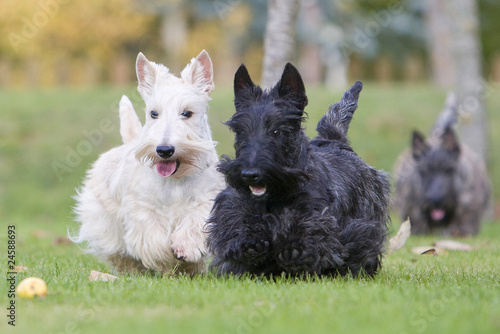 deux vari t s de scottish terrier photo libre de droits sur la banque d 39 images. Black Bedroom Furniture Sets. Home Design Ideas