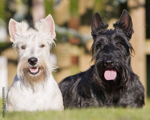 couple de terriers cossais scottish terrier photo libre de droits sur la banque d 39 images. Black Bedroom Furniture Sets. Home Design Ideas