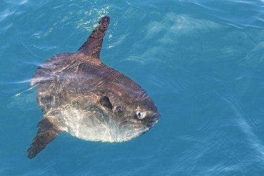 sunfish in real sea nature mola mola luna sun fish