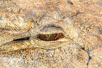 Krokodil Auge