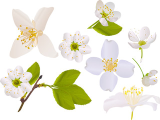 jasmine and cherry tree flowers collection