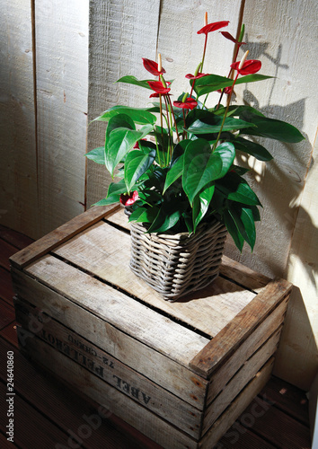 anthurium rouge en pot osier sur caisse bois d co photo libre de droits sur la banque d 39 images. Black Bedroom Furniture Sets. Home Design Ideas