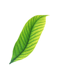Fresh green leaf with yellow. Isolated on white background