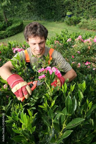 Le jardinier paysagiste taille un rosier buisson photo for Tarif jardinier paysagiste