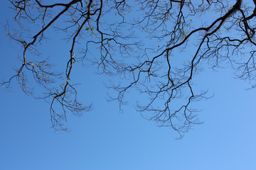 Big tree branches silhouette on clear blue sky
