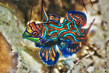 Tropical fish Mandarinfish
