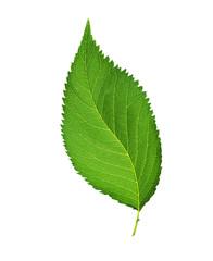 Hazel leaf isolated on white